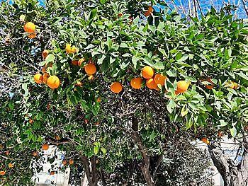 Een van de fruitbomen in onze tuin Crete Joy Georgioupolis